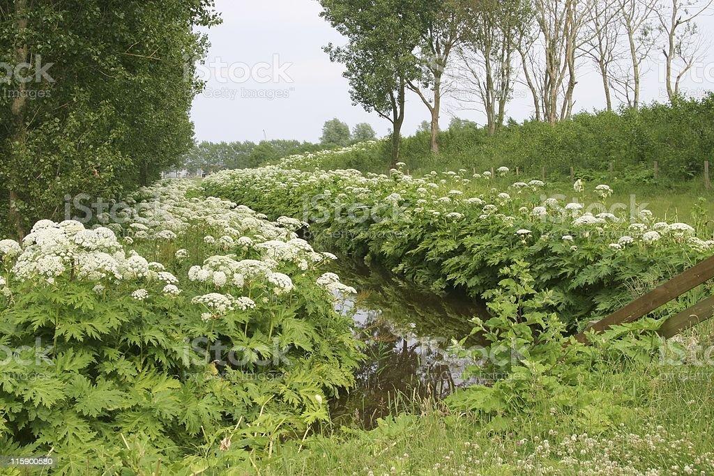 western european scene with Giant hogweed stock photo