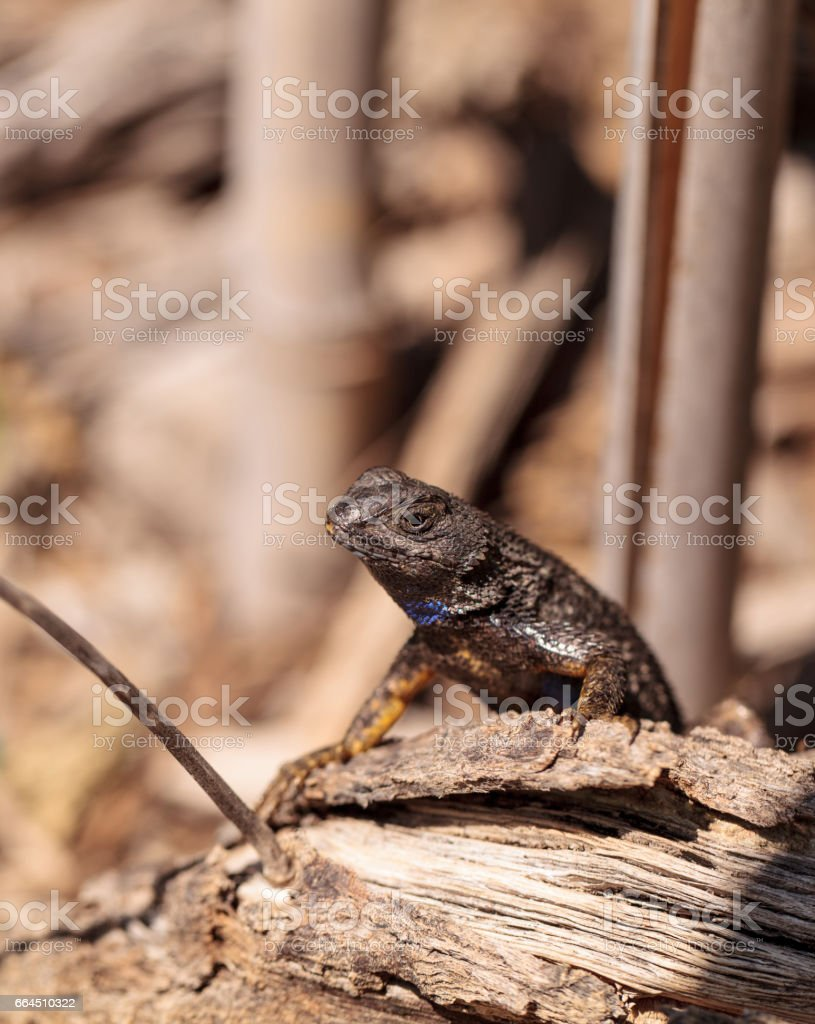 Western fence lizard called Sceloporus occidentalis stock photo