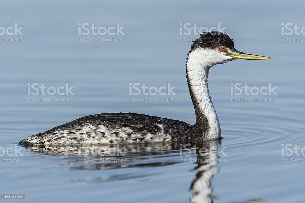 Western Grebe in Calm Water royalty-free stock photo