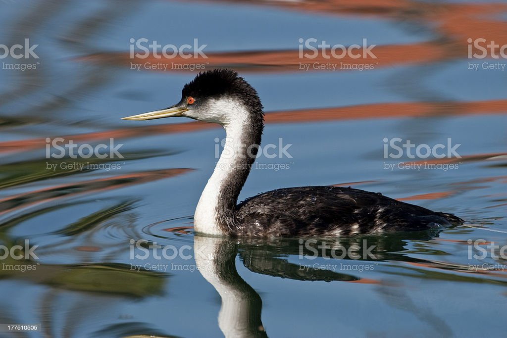Western Grebe royalty-free stock photo