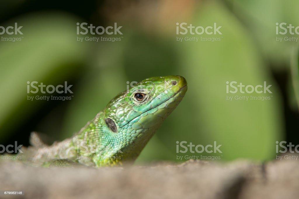 Western Green Lizard stock photo
