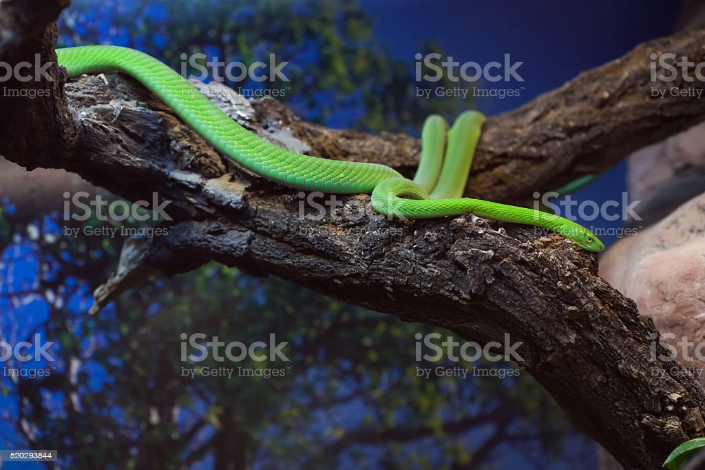 Western green mamba (Dendroaspis viridis). stock photo
