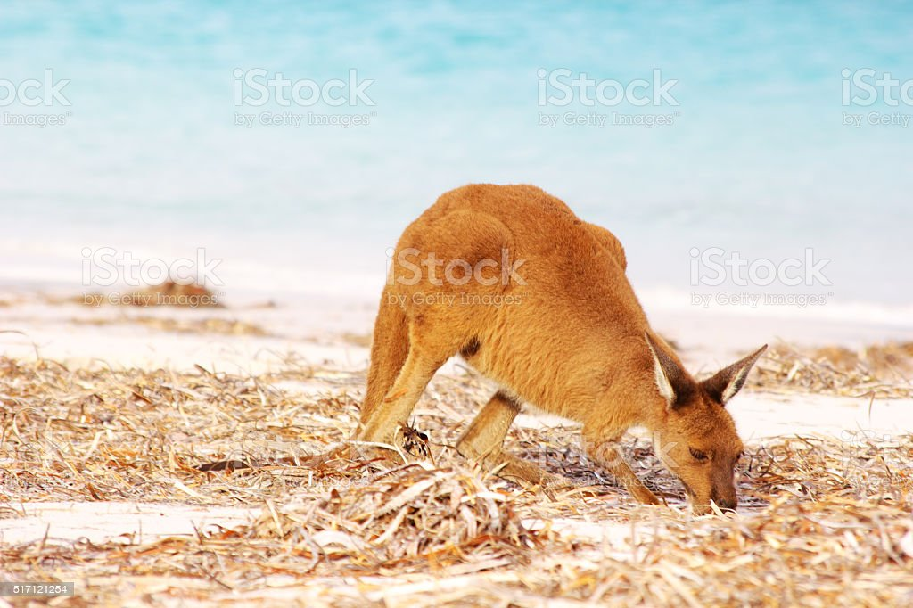 Western Grey Kangaroo foraging, Lucky Bay, Cape Le Grand stock photo