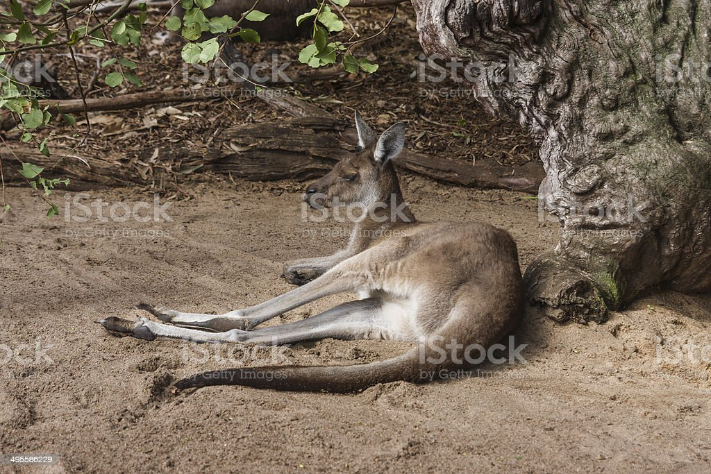 Western Grey Kangaroo in Western Australia stock photo