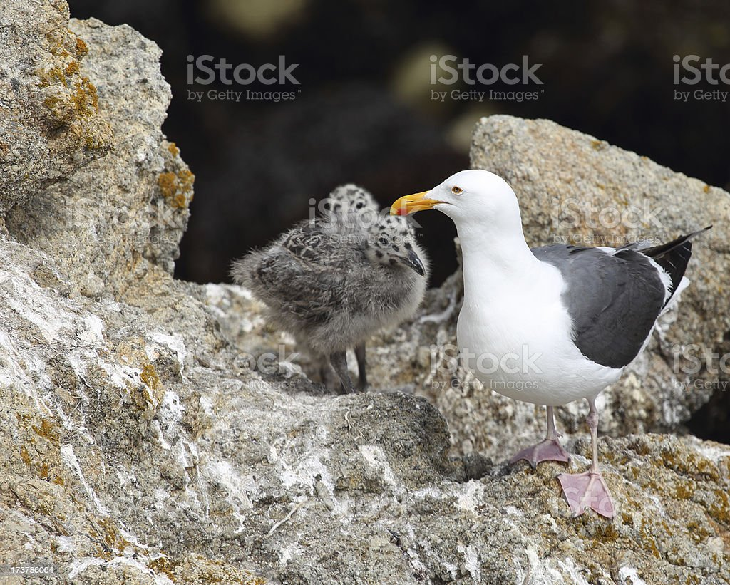 Western Gull and Chicks stock photo