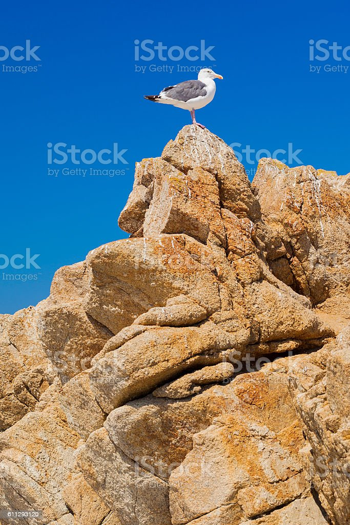 Western Gull On Top Of A Mountain stock photo