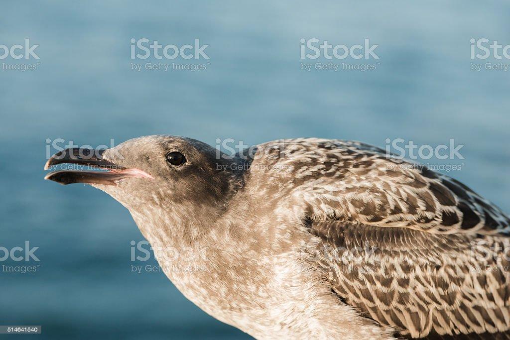 Western Gull stock photo