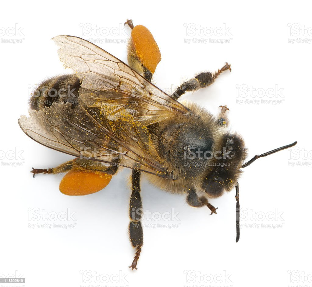 Western honey bee, Apis mellifera, carrying pollen stock photo