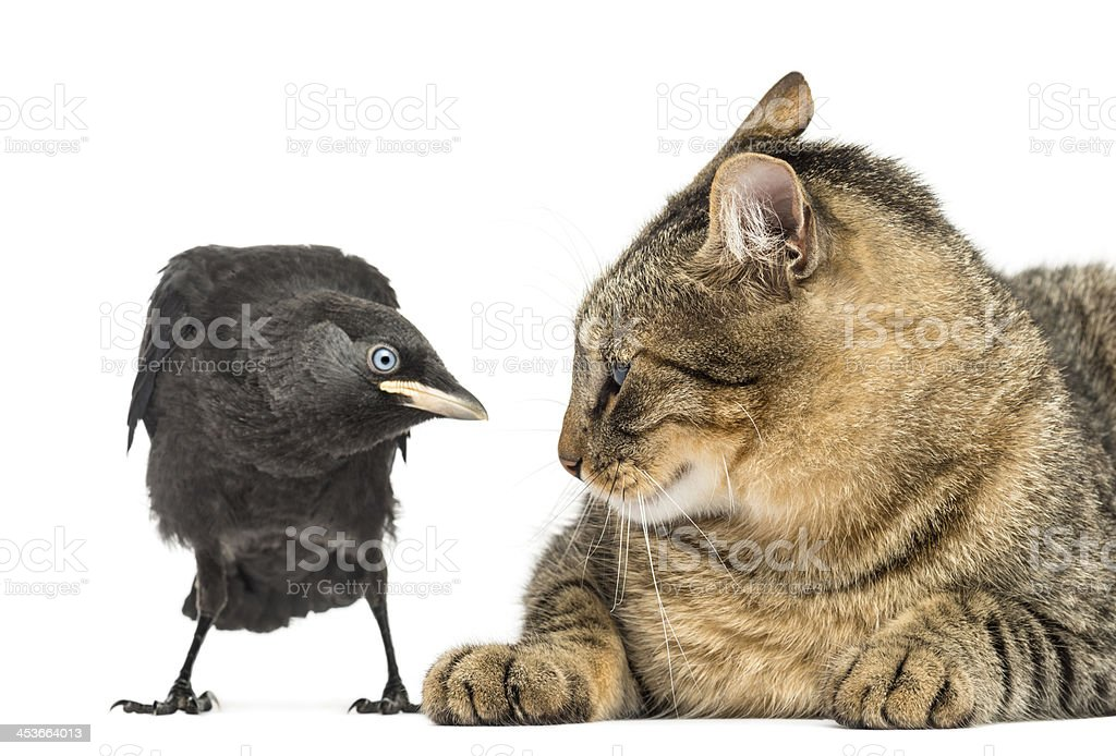 Western Jackdaw and cat looking at each other, isolated royalty-free stock photo