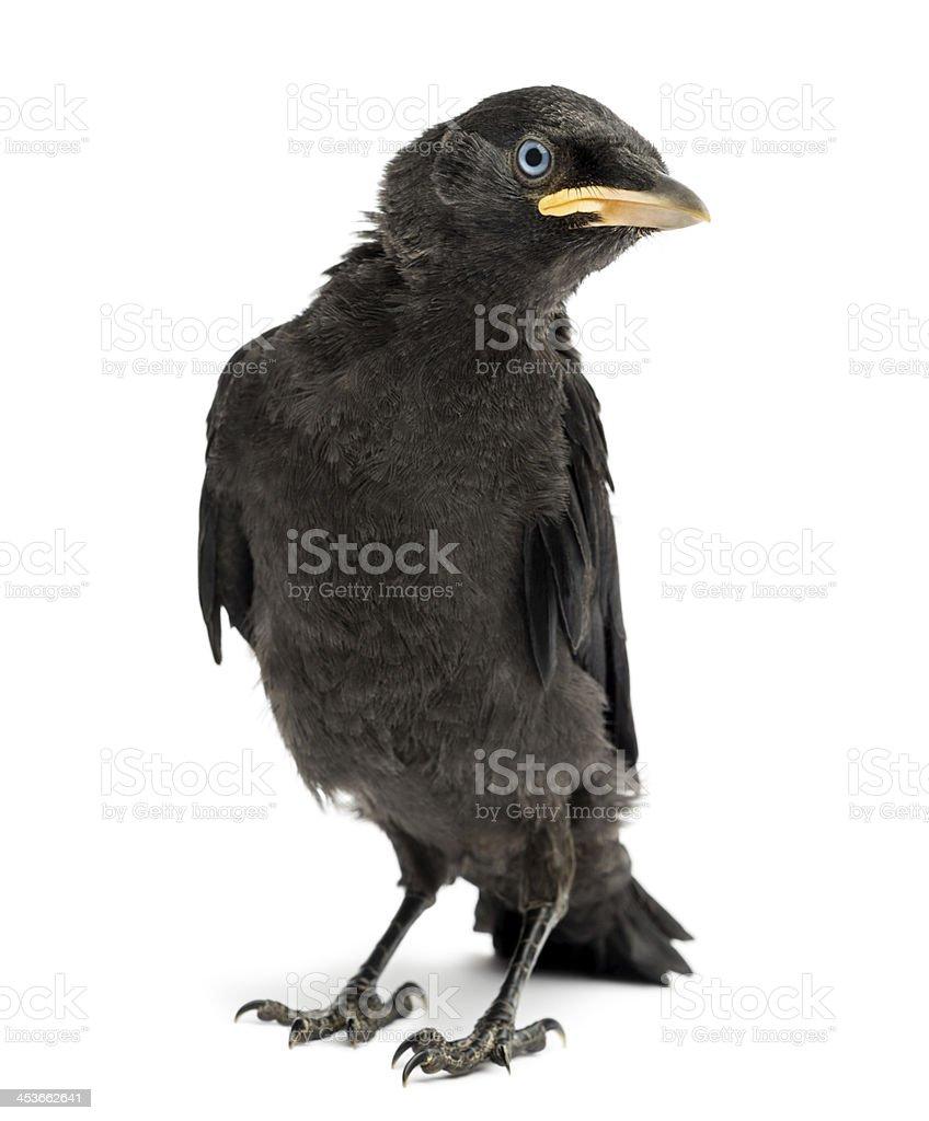 Western Jackdaw, Corvus monedula, 20 days old, isolated on white stock photo
