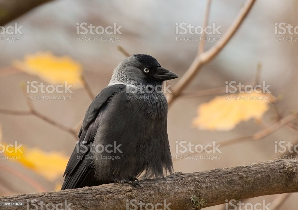 Western Jackdaw on the branch in autumn stock photo
