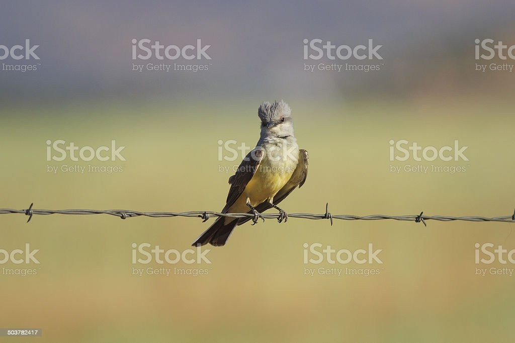 Western Kingbird on Fence royalty-free stock photo