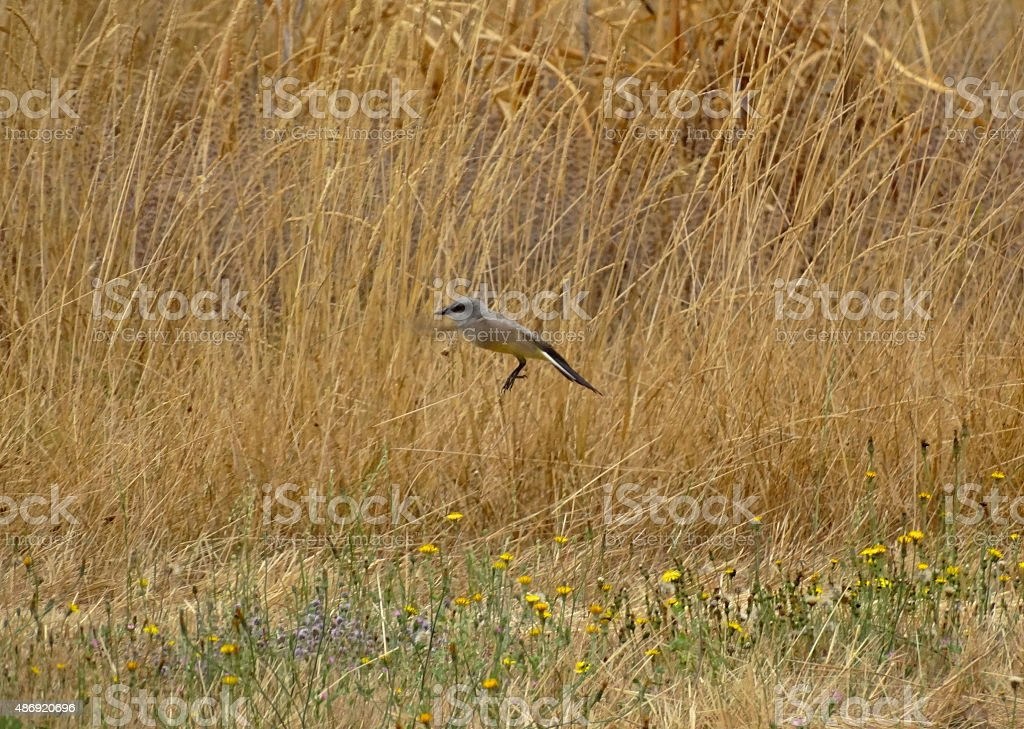 Western Kingbird stock photo