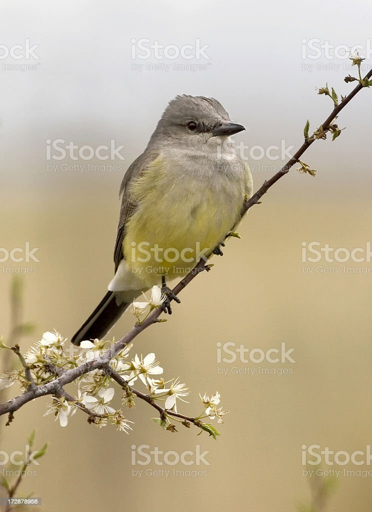 Western kingbird/flycatcher perched on blooming plum tree stock photo