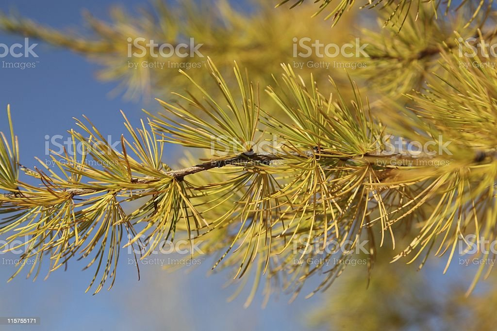 Western Larch Branch against blue sky. stock photo