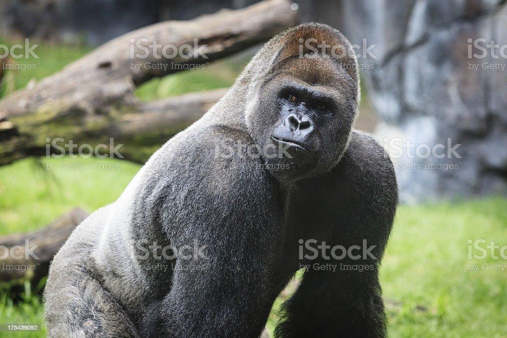 Western Lowland Gorilla Alpha Male Close Up stock photo