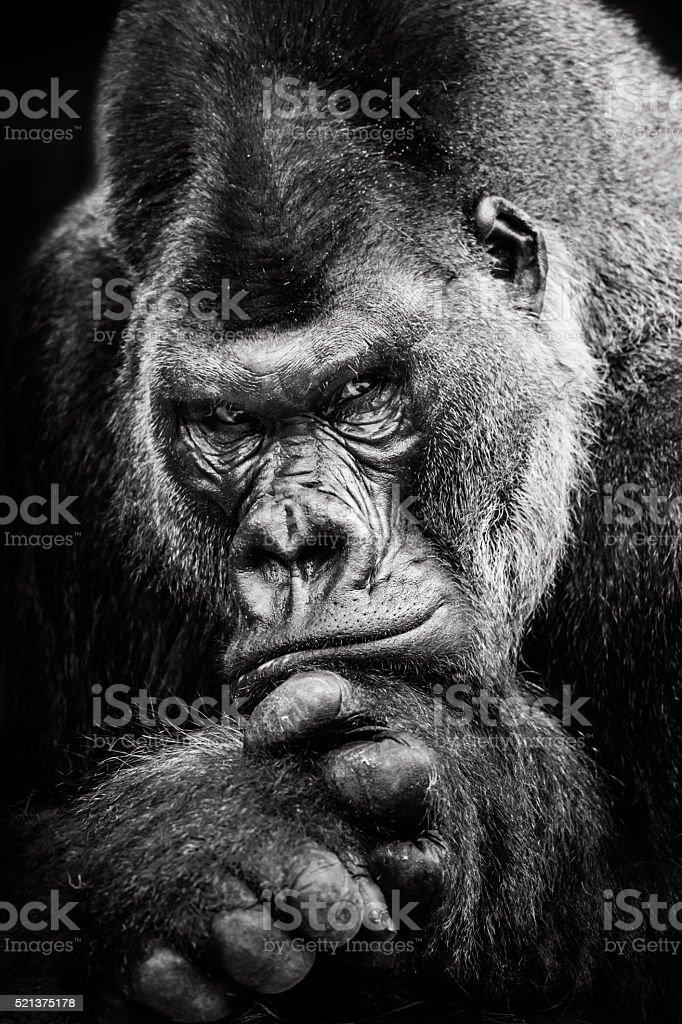 Western Lowland Gorilla BW II stock photo