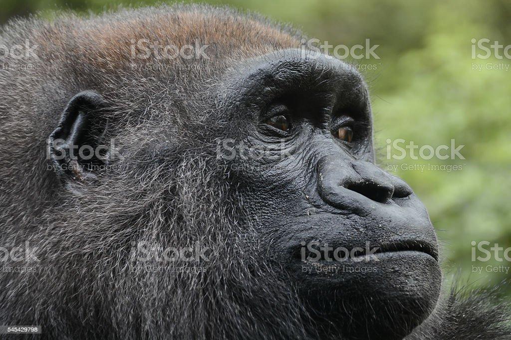 Western lowland gorilla close-up stock photo