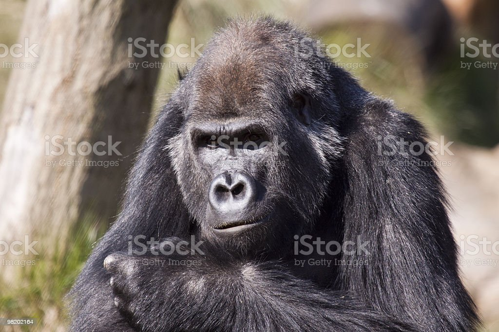 Western Lowland Gorilla from Central Africa stock photo