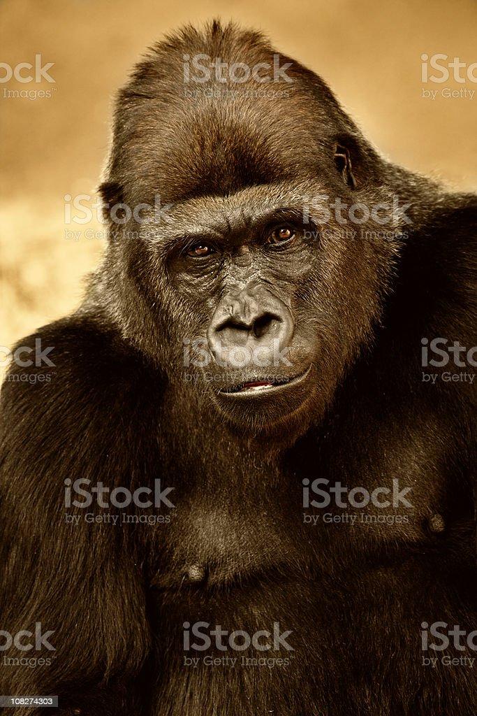 Western  Lowland Gorilla stock photo