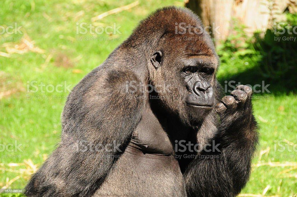 Western Lowland Gorilla. stock photo