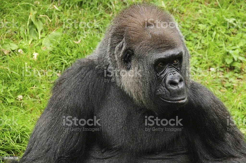 Western Lowland Gorilla. royalty-free stock photo