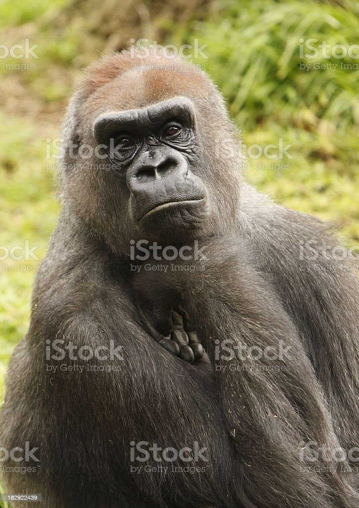 Western Lowland Gorilla royalty-free stock photo