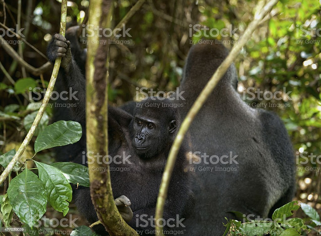 Western Lowland Gorilla stock photo