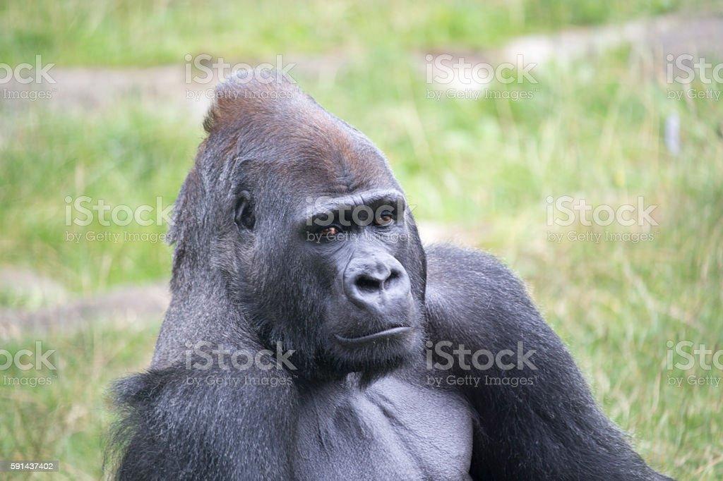 Western Lowland Gorilla (Gorilla gorilla gorilla) stock photo