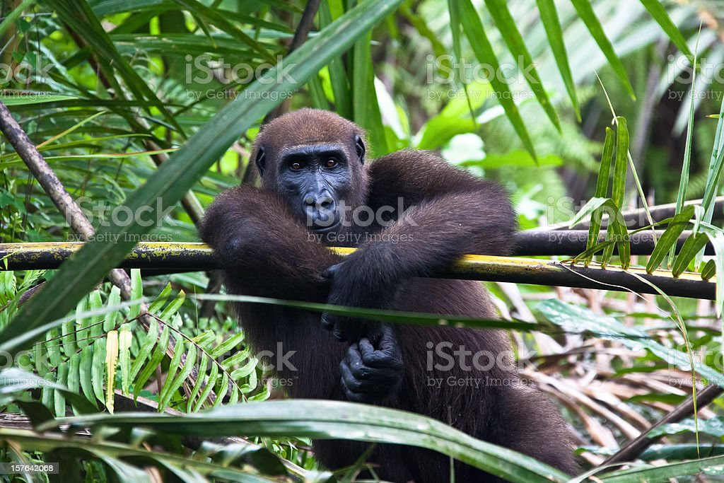 Western lowland gorilla sitting in a palmtree stock photo