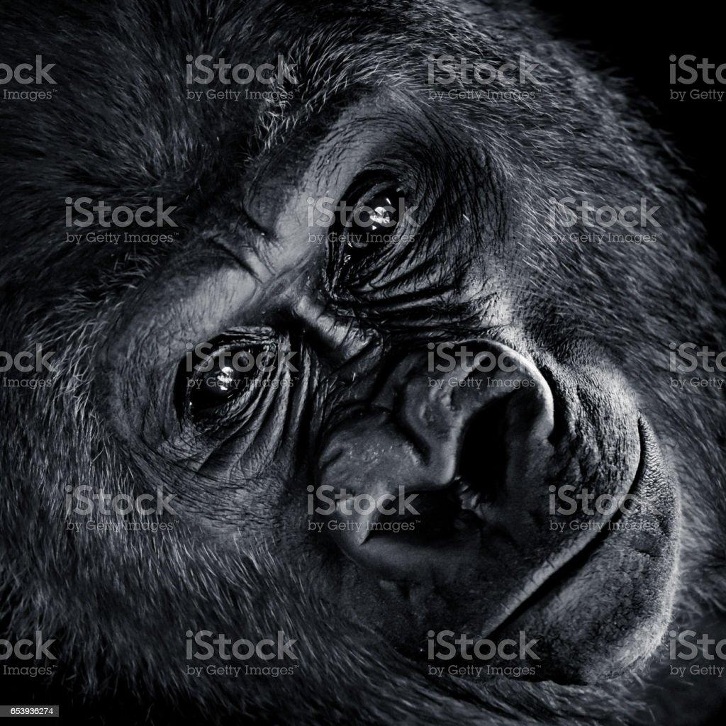 Western Lowland Gorilla V stock photo