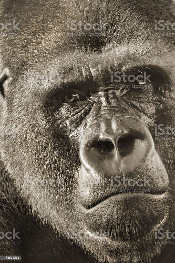 Gorille de plaine de l'ouest de Silver à l'arrière Portrait en gros plan photo libre de droits