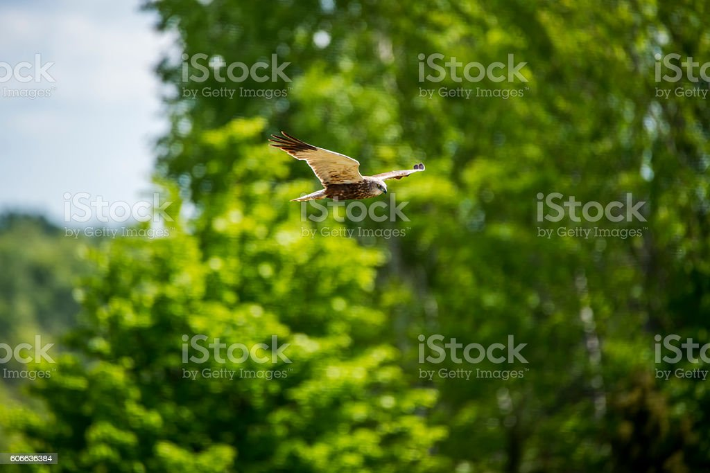 Western Marsh Harrier Flying stock photo