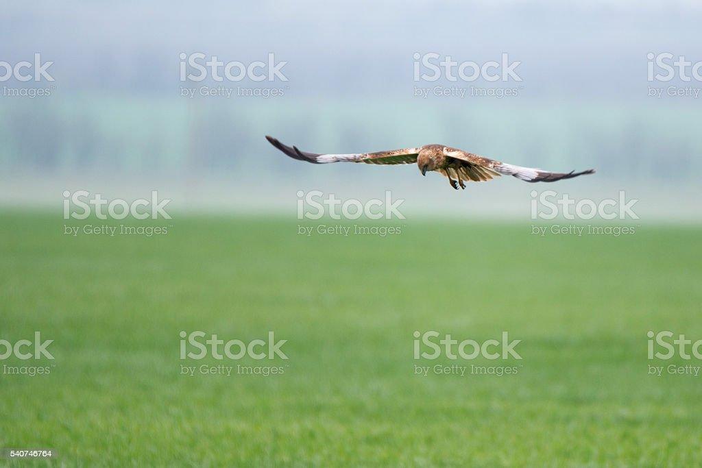 Western marsh harrier or Circus aeruginosus stock photo