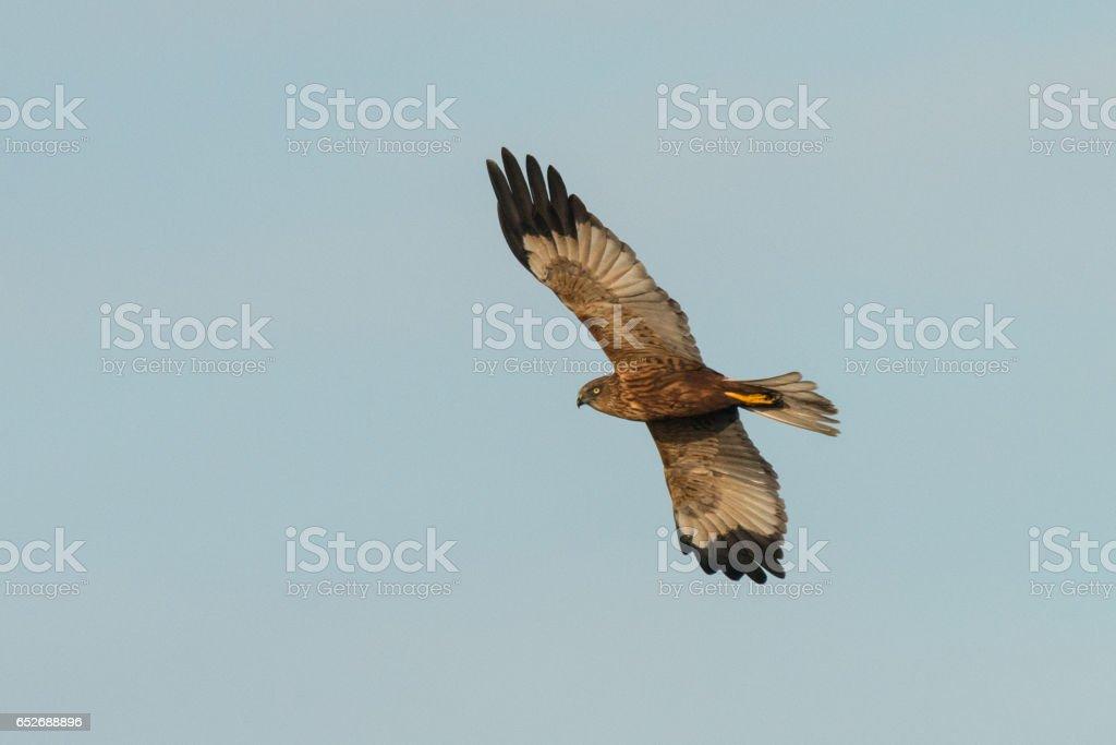 Western marsh harrier stock photo