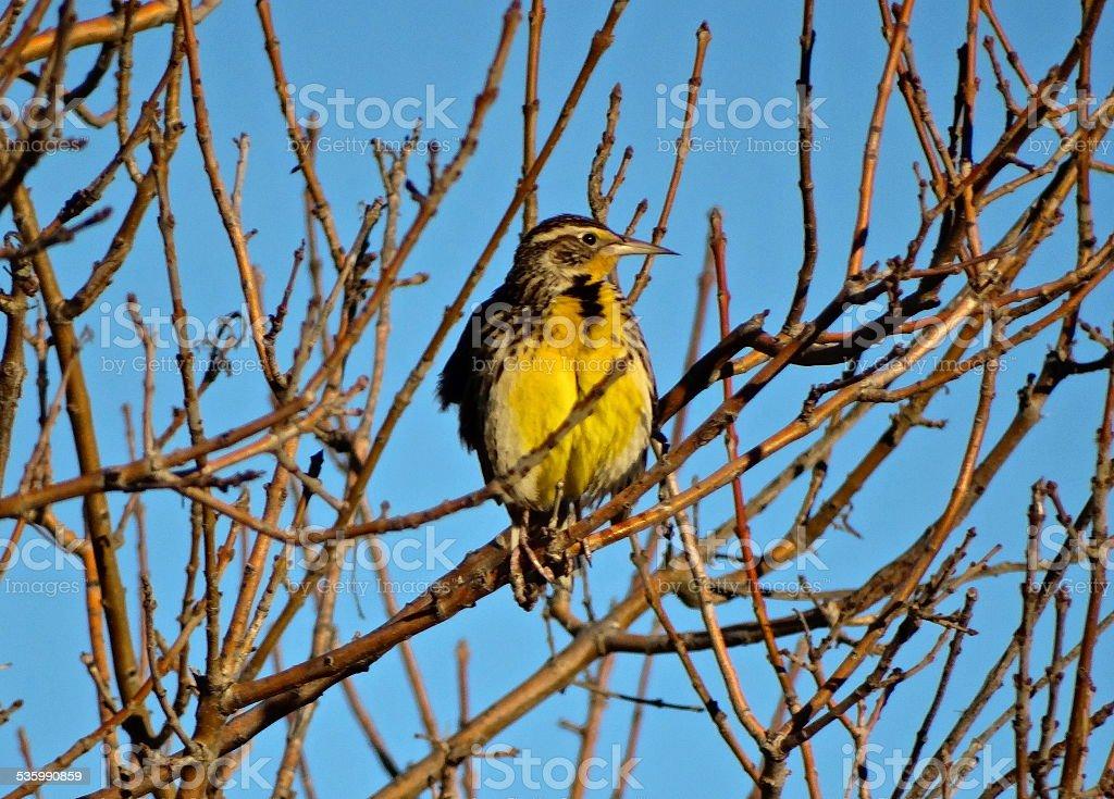 Western Meadowlark Beak stock photo