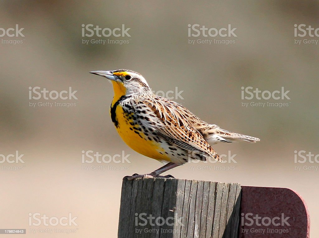 Western Meadowlark Perched on a Signpost stock photo