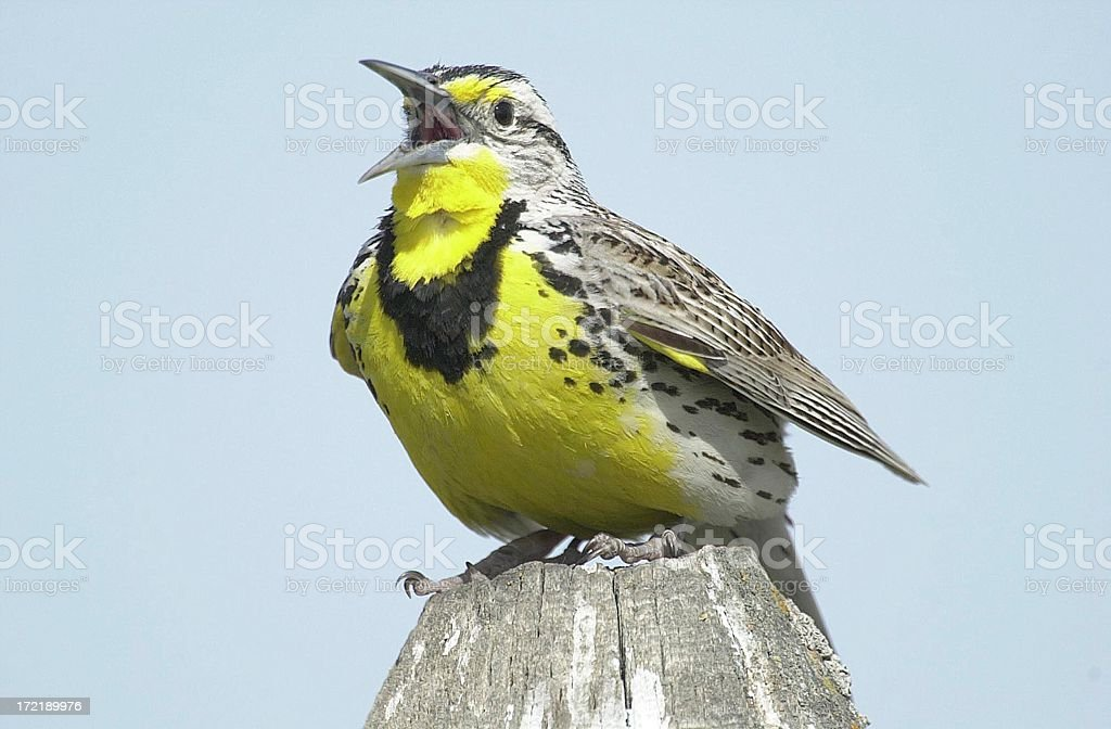 Western Meadowlark singing from post stock photo