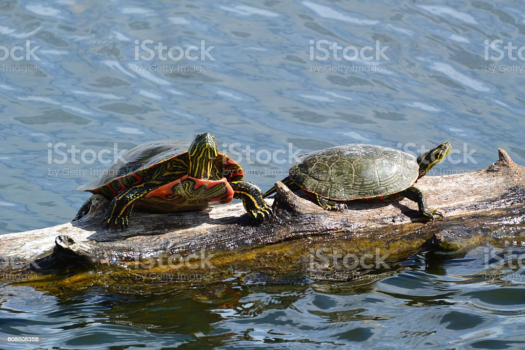 Western Painted Turtles stock photo