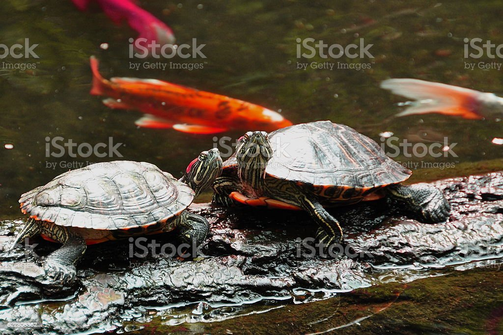 Western painted turtles. stock photo