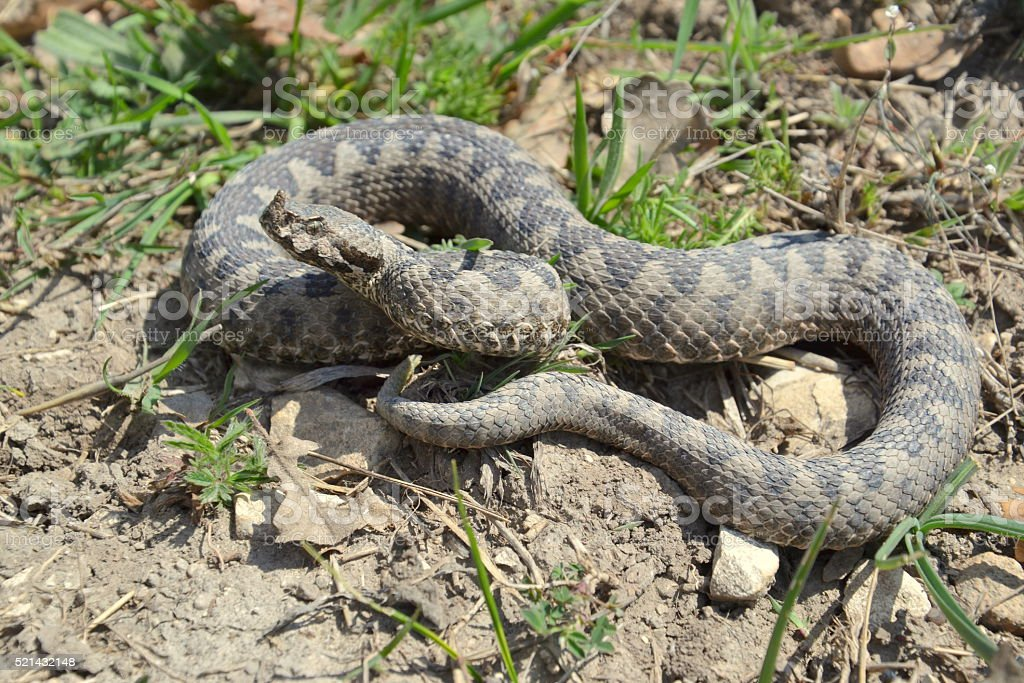 Western sand viper (Vipera ammodytes ammodytes) stock photo