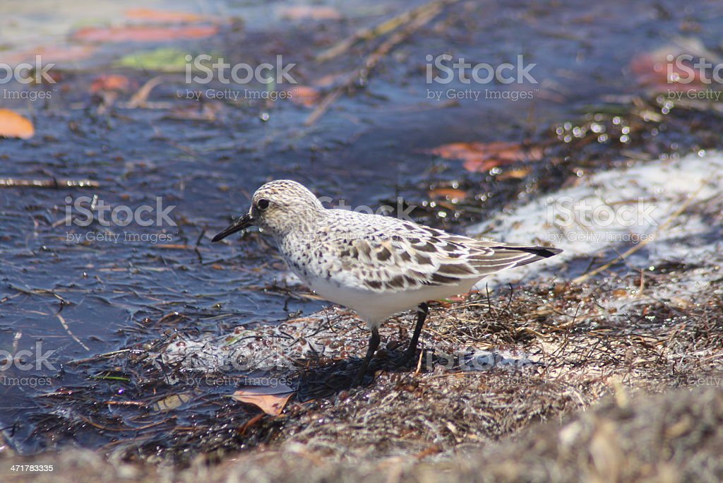 Western Sandpiper Juvenile royalty-free stock photo