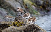 Western Sandpipers on a seaweed covered rock, Vancouver Island.