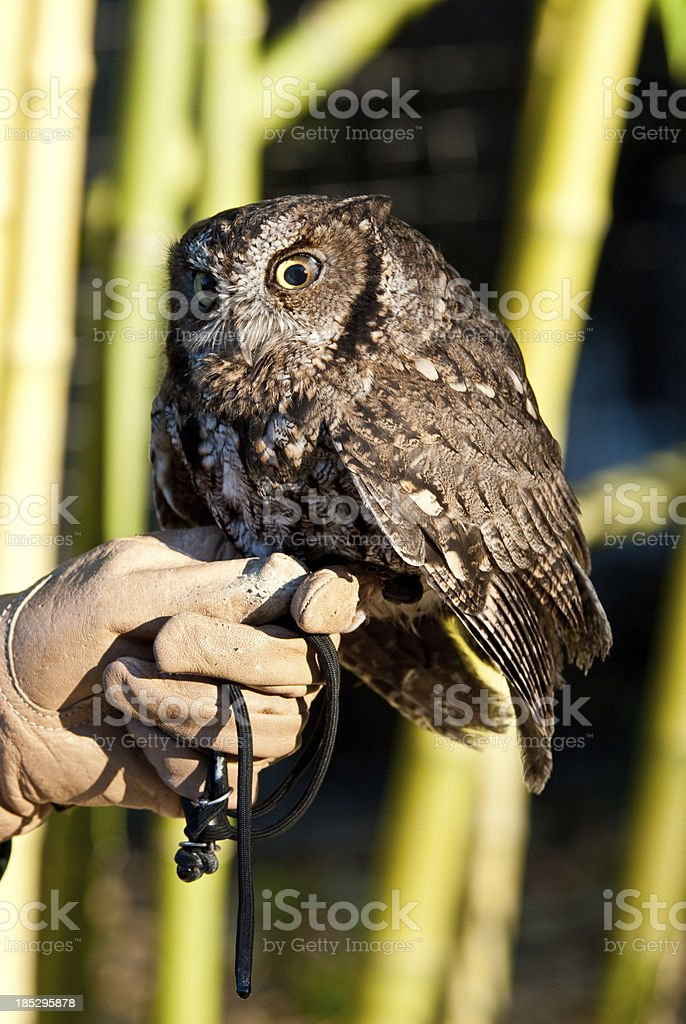 Western Screech Owl and Handler royalty-free stock photo