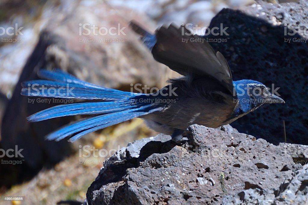Western Scrub Jay stock photo