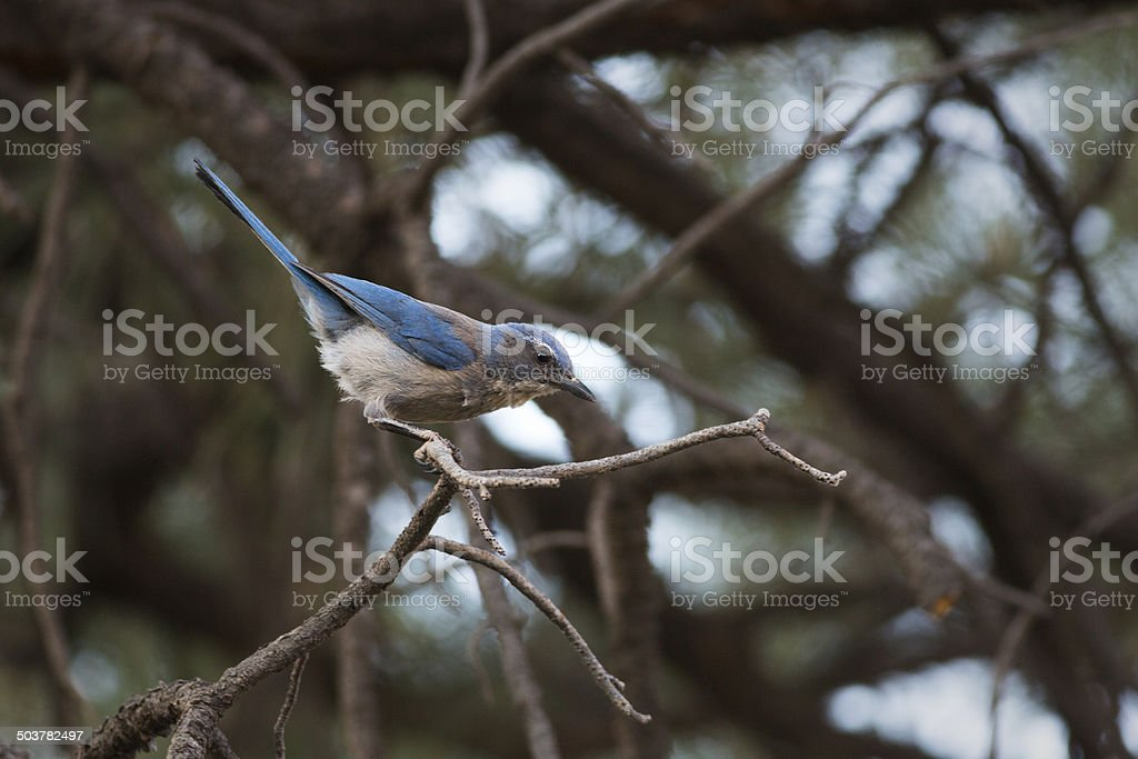 Western Scrub Jay royalty-free stock photo