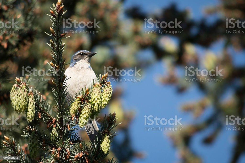 Western Scrub-Jay in a Pine Tree stock photo