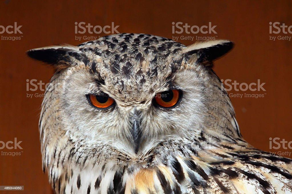 Western Siberian eagle-owl (Bubo bubo sibiricus). stock photo