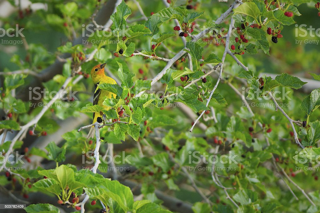 Western Tanager Eating Mulberries royalty-free stock photo