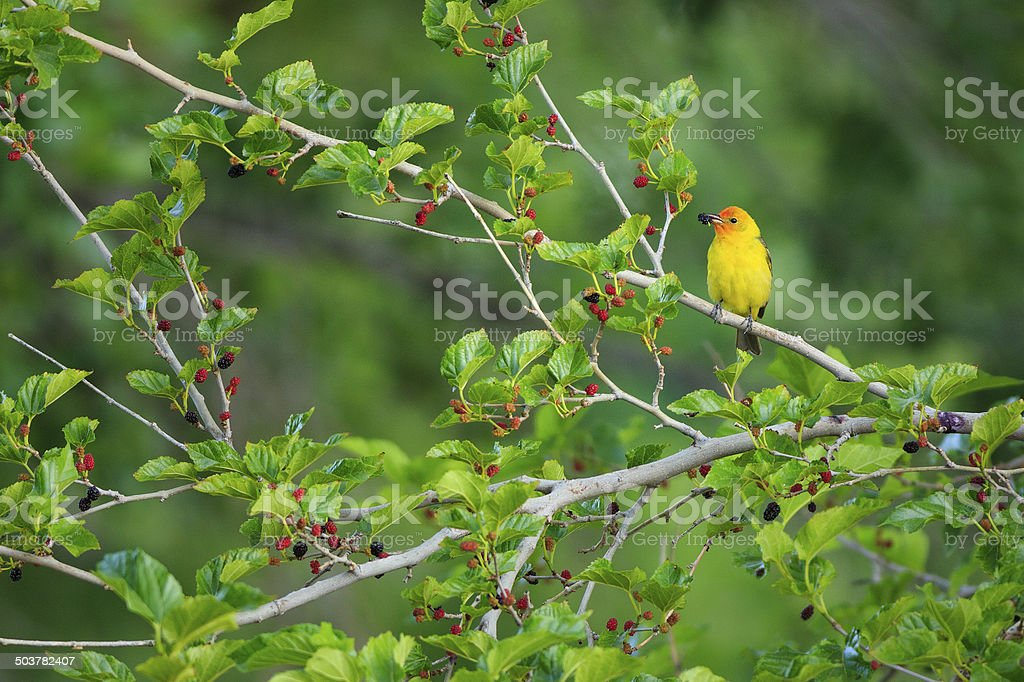 Western Tanager in Mulberry Tree royalty-free stock photo